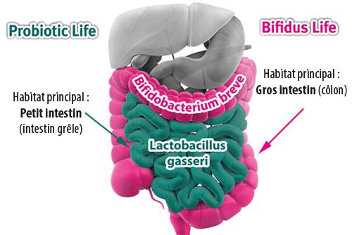Schema Bifidus et Probiotic
